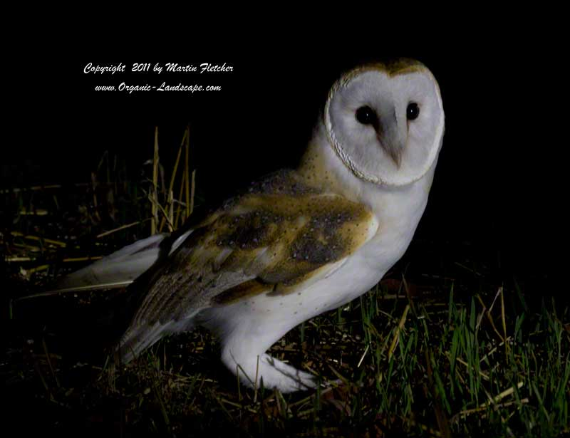 Barn Owl on mouse