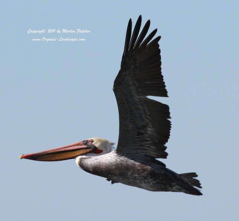 Brown Pelican Flight