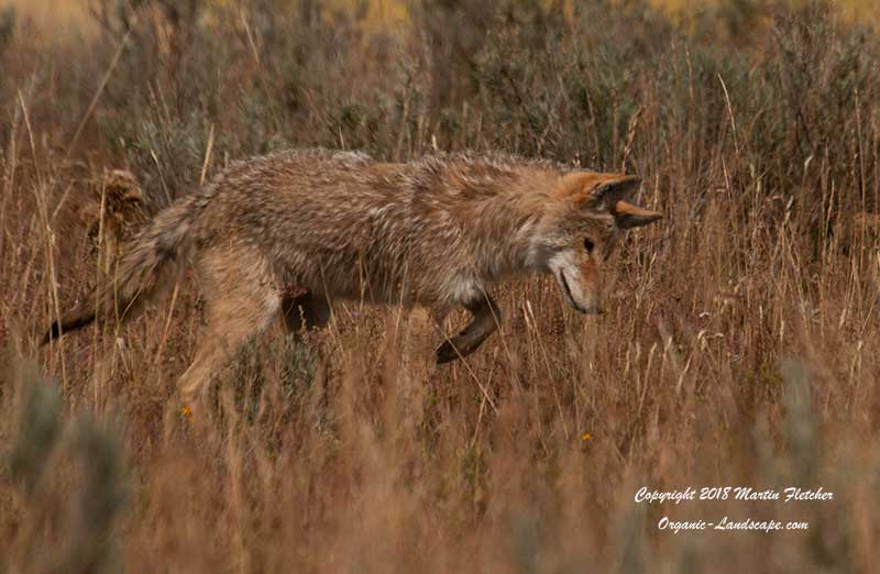 Coyote Mousing, Pelican Valley, Yellowstone