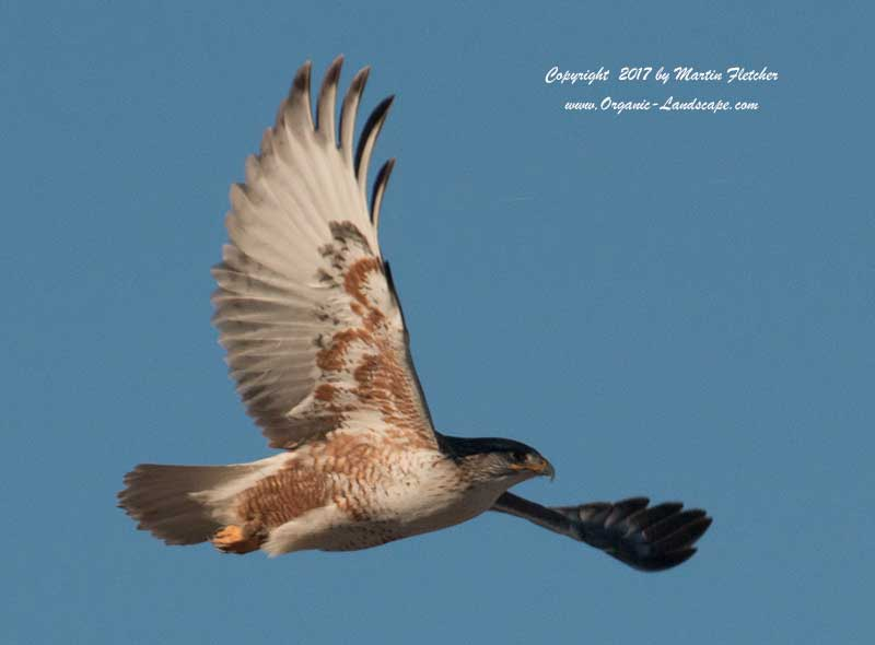 Ferruginous Hawk Flight, near Tejon Ranch