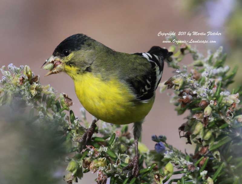 Lesser Goldfinch, Ojai