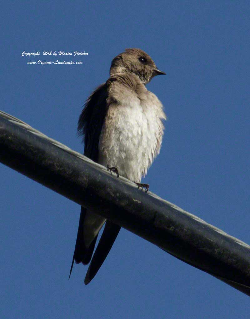 Northern Rough Winged Swallow, Ojai Meadows Preserve
