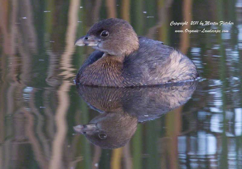 Pied Billed Grebe, Ojai Meadows Preserve