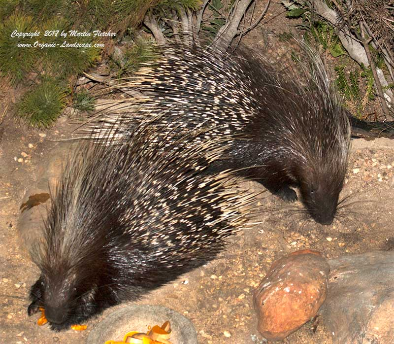 Porcupine, Hystrix africaeaustralis, South Africa