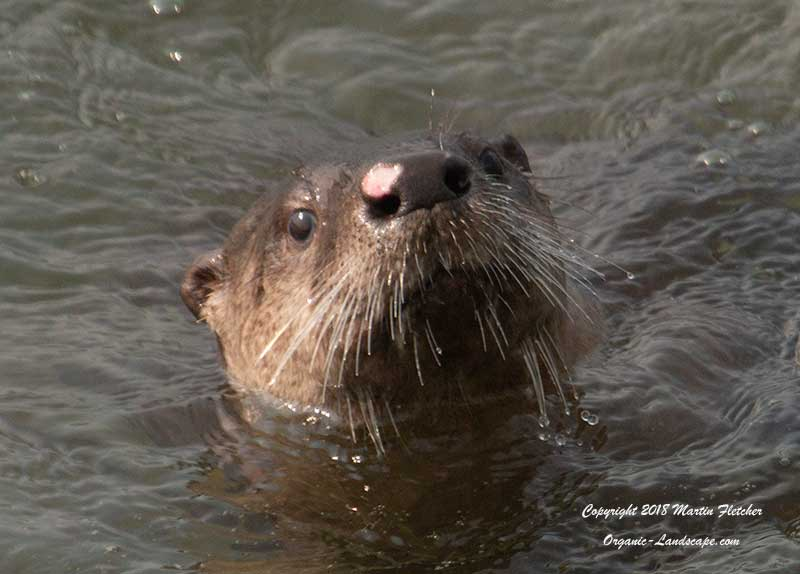 River Otter, Lamar Valley, Yellowstone
