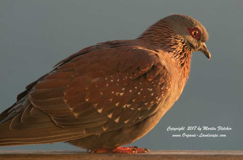 Speckled Pigeon, South Africa
