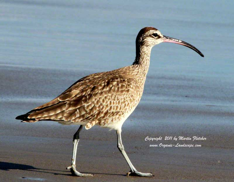 Whimbrel, Emma Wood State Beach