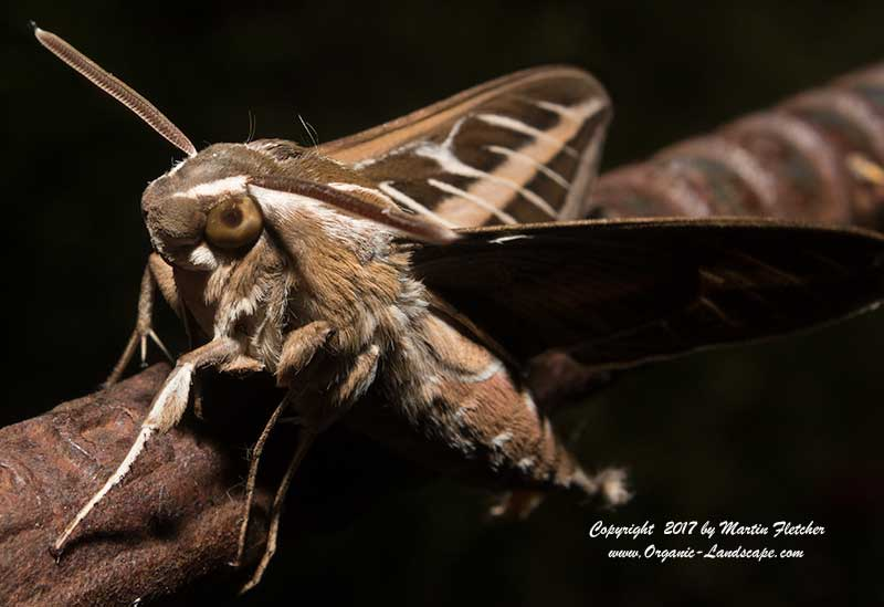 White Lined Sphinx Moth, Hyles lineata